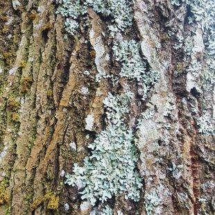 Деревья в Милзкалне