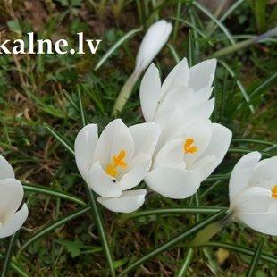 Весенние цветы в Милзкалне